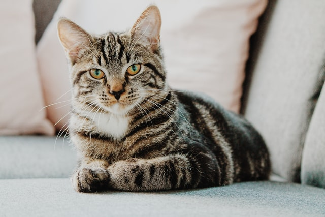 Katten zijn zeer populaire huisdieren. Het zijn dieren die zichzelf goed weten te vermaken, maar aandacht van hun baasje ook zeer prettig vinden. Ondanks dat katten redelijk zelfstandig kunnen zijn, zijn het ook huisdieren die de juiste zorg en aandacht nodig hebben. Om je kat in een perfecte conditie te houden, moet je hem wel de juiste kattenvoeding geven. Als je kat last heeft van bepaalde kwaaltjes, kun je hem bovendien aansterken door middel van kattensupplementen. Ben jij benieuwd waar je op moet letten bij het kopen van kattenvoeding en kattensupplementen? Neem dit artikel dan aandachtig door.
